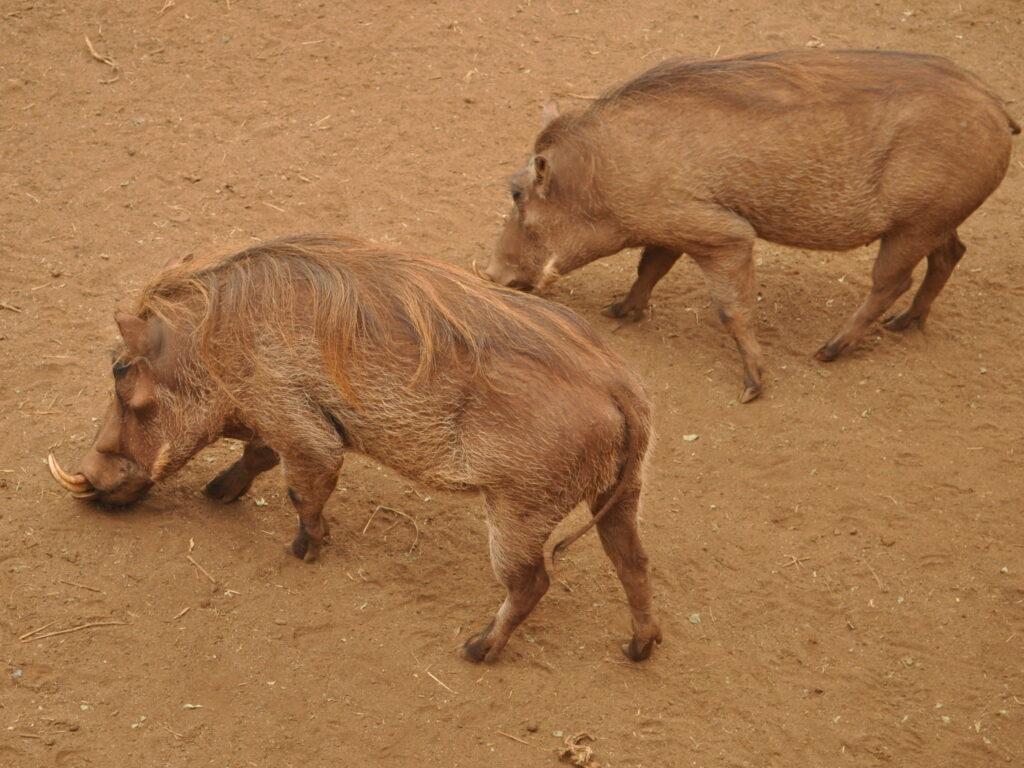guziec - afrykańskie zwierzęta