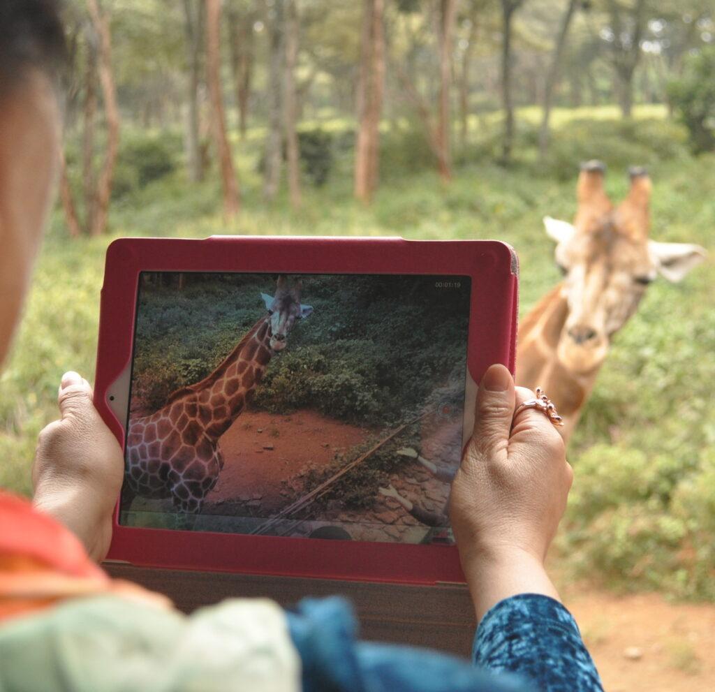 żyrafa - afrykańskie zwierzęta